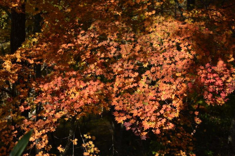 飛騨市の紅葉