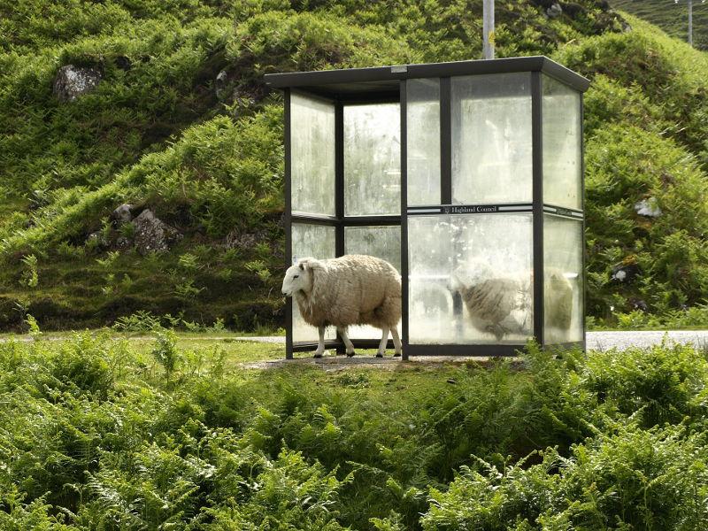 バス停と羊